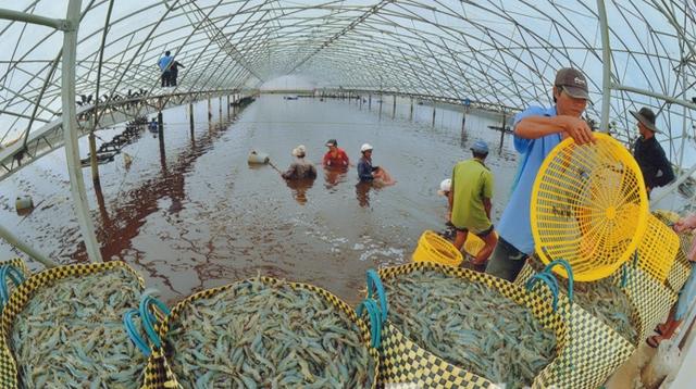 Phát triển bền vững nghề nuôi tôm ở đồng bằng sông Cửu Long (Kỳ 2)